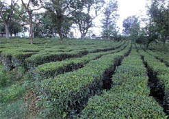 Tea plantation Palampur